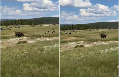 O vacanţă se putea transforma într-un coşmar pentru o femeie. A fost atacată de un bizon VIDEO