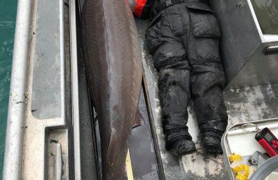 """""""Monstrul de pe râu"""". Un sturion de peste 100 de ani a fost prins în SUA"""