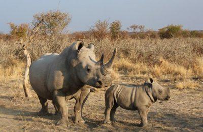 Vânătoarea ilegală de rinoceri este în creştere după ce restricţiile au fost ridicate în Africa de Sud